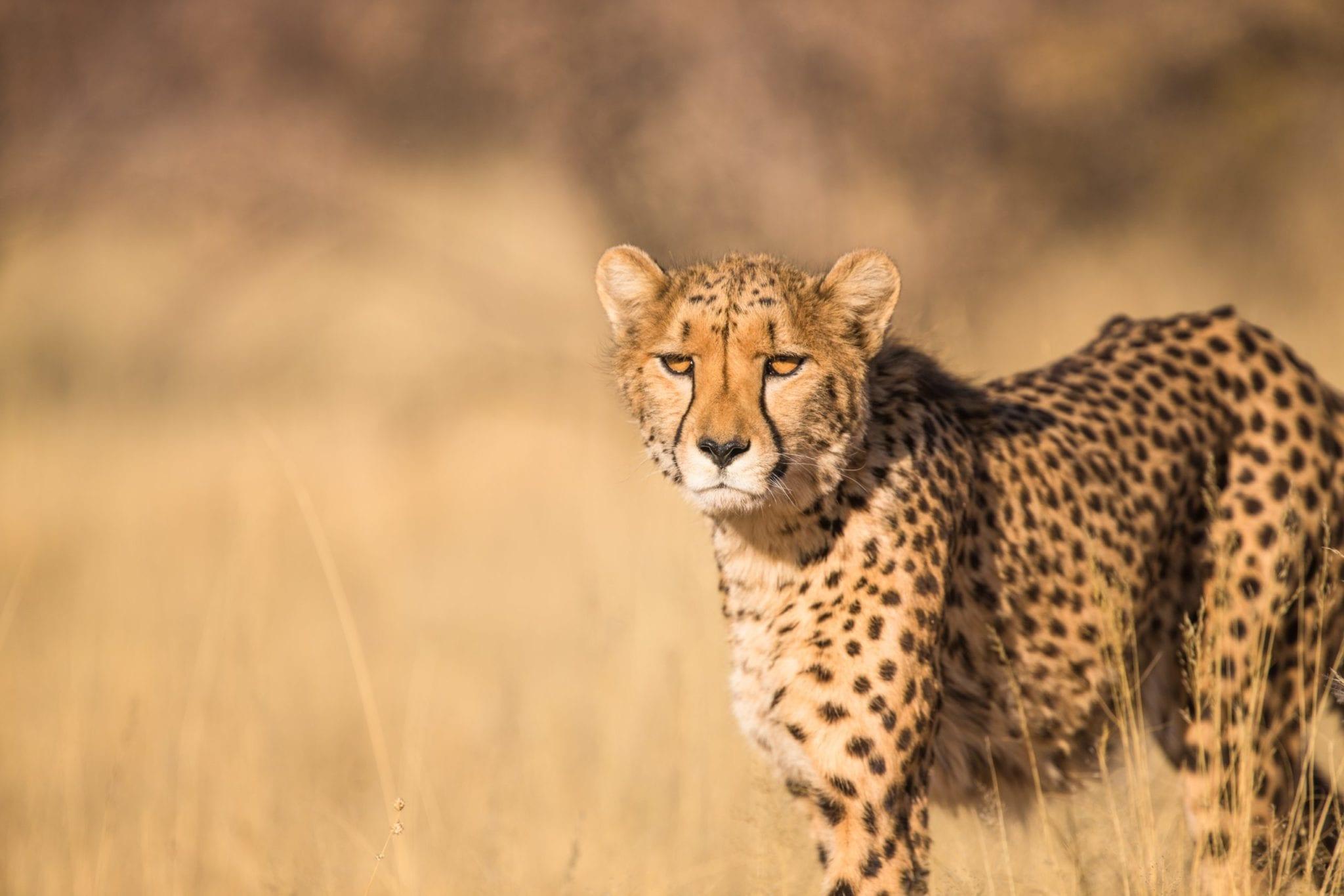 Cheetah Sanctuary & Lion Rehabilitationspark